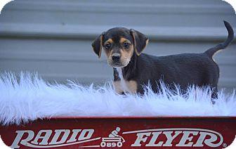 Labrador Retriever Mix Puppy for adoption in Groton, Massachusetts - Linda
