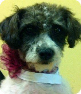 Poodle (Miniature) Mix Dog for adoption in Oswego, Illinois - Spice