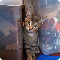 Adopt A Pet :: Tiger - Riverhead, NY