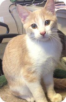 Domestic Shorthair Cat for adoption in Modesto, California - Nick