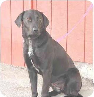 Labrador Retriever Mix Dog for adoption in Austin, Minnesota - Eva