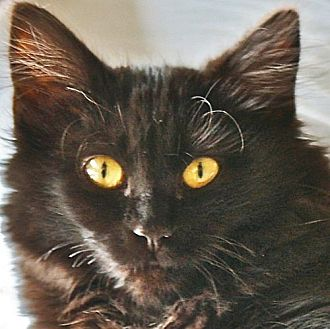 Manx Cat for adoption in Port Angeles, Washington - Bobbie Jo