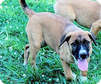 Labrador Retriever/Shepherd (Unknown Type) Mix Puppy for adoption in Naugatuck, Connecticut - Inga