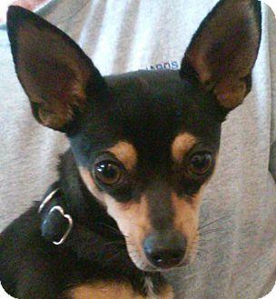 Chihuahua Mix Dog for adoption in Layton, Utah - Teddy
