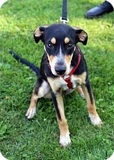 Shepherd (Unknown Type) Mix Puppy for adoption in Appleton, Wisconsin - Hannah