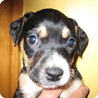 Adopt A Pet :: Shelby - richmond, VA