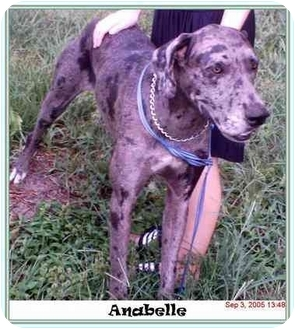 Great Dane Dog for adoption in Chiefland, Florida - Anabelle