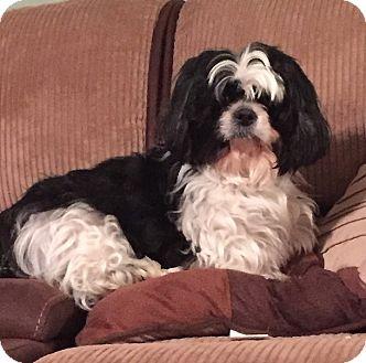 Shih Tzu Dog for adoption in Pennsauken, New Jersey - Tia