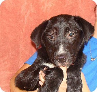 Australian Shepherd/Golden Retriever Mix Puppy for adoption in Oviedo, Florida - Kenny
