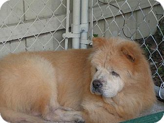 Chow Chow Dog for adoption in DeLand, Florida - BUTTERBALL