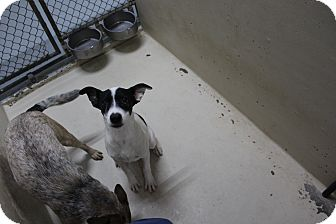 Cattle Dog Mix Puppy for adoption in Odessa, Texas - A28 SUNDAY