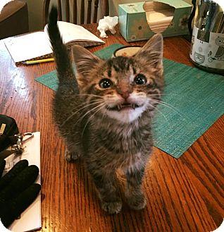 Domestic Shorthair Kitten for adoption in Chicago, Illinois - Squeaks