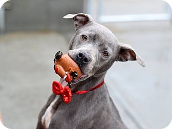 American Staffordshire Terrier Mix Dog for adoption in Long Beach, New York - Jubilee