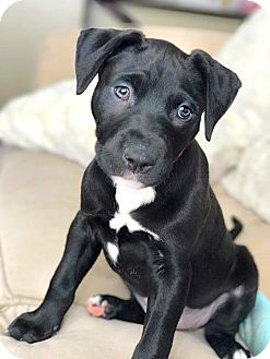 American Pit Bull Terrier Mix Puppy for adoption in Reisterstown, Maryland - Pink