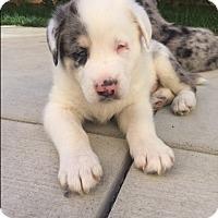 Adopt A Pet :: Lincoln von Zelda - Thousand Oaks, CA