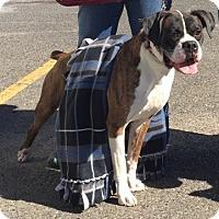 Adopt A Pet :: Clooney - Austin, TX