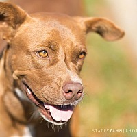 Shepherd (Unknown Type)/American Pit Bull Terrier Mix Dog for adoption in Okemah, Oklahoma - Ida Mae