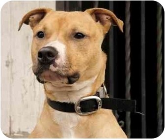 American Pit Bull Terrier Dog for adoption in Long Beach, New York - Johhny Boy