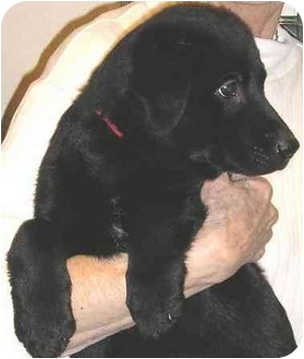 Labrador Retriever Mix Puppy for adoption in Glenwood, Minnesota - Rufus