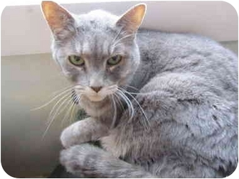 Domestic Shorthair Cat for adoption in Pascoag, Rhode Island - Pearl