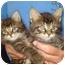 Photo 2 - Domestic Shorthair Kitten for adoption in Richmond, Virginia - Blueberry