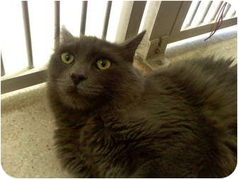Domestic Mediumhair Cat for adoption in San Clemente, California - SHILOH