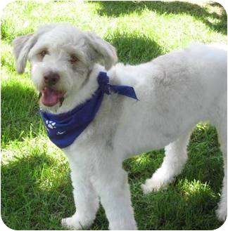 Old English Sheepdog Mix Dog for adoption in Poway, California - HASHI