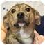 Photo 1 - Labrador Retriever Mix Puppy for adoption in Westfield, New York - Diva