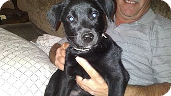 Labrador Retriever Mix Puppy for adoption in Evergreen, Colorado - Flamenco