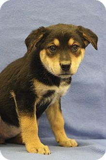 Australian Shepherd/Shepherd (Unknown Type) Mix Puppy for adoption in Broomfield, Colorado - Jetta