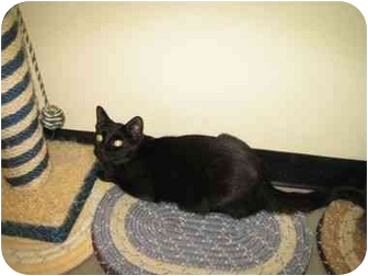 Domestic Shorthair Cat for adoption in Pickering, Ontario - Jiggs
