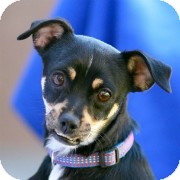 Chihuahua/Terrier (Unknown Type, Small) Mix Puppy for adoption in Coronado, California - Half Pint