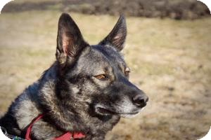 Shepherd (Unknown Type)/Husky Mix Dog for adoption in Saskatoon, Saskatchewan - Payton