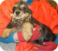 Cocker Spaniel Puppy for adoption in Antioch, Illinois - Sir Charles ADOPTED!!