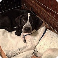 Adopt A Pet :: Alice - Colleyville, TX