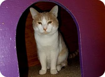Domestic Shorthair Cat for adoption in Lawrenceville, Georgia - Bud (Crimson)