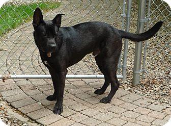 German Shepherd Dog/Labrador Retriever Mix Dog for adoption in Avon, Ohio - Huller