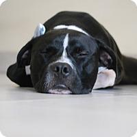 Adopt A Pet :: Oscar delaRenta - Miami, FL