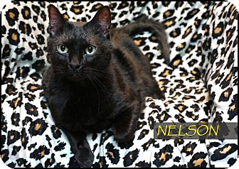 Domestic Shorthair Cat for adoption in Wheaton, Illinois - Nelson