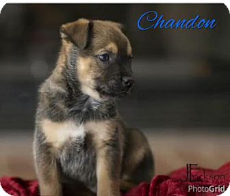 Beagle/Pug Mix Puppy for adoption in Plainfield, Illinois - Chandon- Champagne Litter
