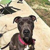 Adopt A Pet :: Harvey - Irving, TX