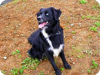 Border Collie/Australian Shepherd Mix Dog for adoption in Reedsport, Oregon - Frankie