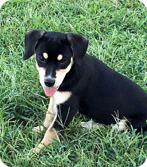 Labrador Retriever/Beagle Mix Puppy for adoption in Salem, New Hampshire - PUPPY DENALI