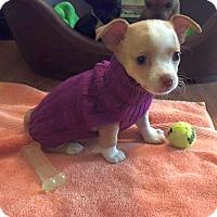 Adopt A Pet :: Rae - Knoxville, TN