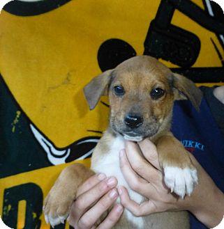 Labrador Retriever Mix Puppy for adoption in Oviedo, Florida - Daisy