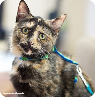 Domestic Shorthair Cat for adoption in Chattanooga, Tennessee - Adele A