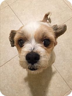Shih Tzu Mix Dog for adoption in Santa Ana, California - Bella 2nd
