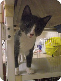 Domestic Shorthair Cat for adoption in Chambersburg, Pennsylvania - Pretzel
