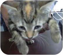 Domestic Shorthair Kitten for adoption in West Warwick, Rhode Island - Fancy (PENDING)