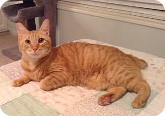 Manx Cat for adoption in Houston, Texas - Sam